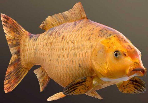 nằm mơ thấy cá chép vàng